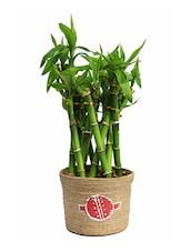 Brown Natural Plants & Jute Pots Planter - By - 944903