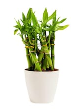Bamboo Cage Indoor Plant - By