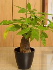 Money Tree Indoor Plant - By - 945050